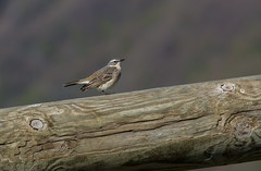 Pipit spioncelle - Photo of Saint-Aventin