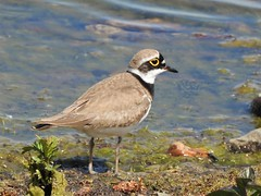 Birds- Lapwings and Plovers