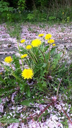 Gewöhnlicher Löwenzahn (Taraxacum officinale agg.) (2)