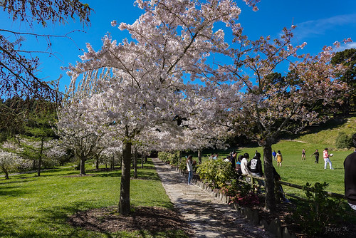Pathway of Blossom Trees
