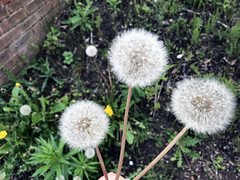 Dandelion stock photo image to represent hay fever in the UK