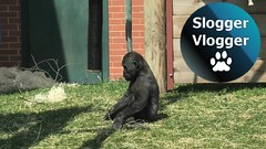 Gorilla Lope And Shufai On The Food Pole