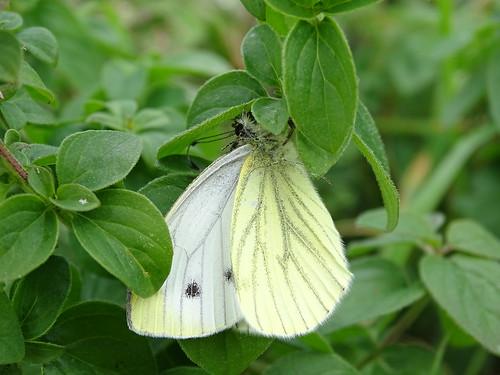 Klein geaderd witje | Green-veined White (Pieris napi) | Pietersberg nl