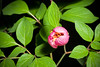 Photo:[Shibetsu Hokkaido, Japan / 北海道士別市] Paeonia obovata 'Honoh - 炎' Maxim., Mém. Acad. Imp. Sci. St.-Pétersbourg Divers Savans 9: 39 (1859) By sunoochi