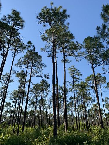 5-17-19_IMG_7739_pines