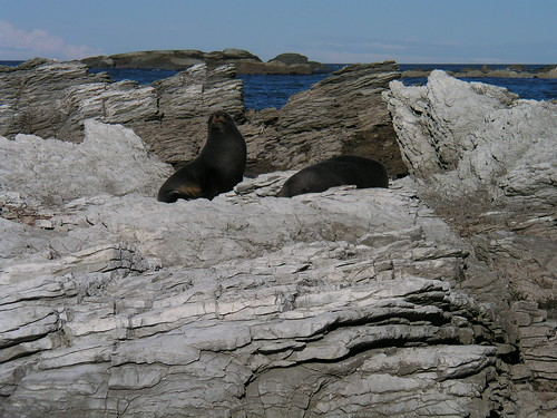 2 fur seals sunning on coastal rocks near Kaikoura NZ 6-25-03