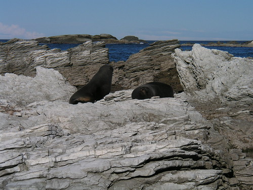 2 fur seals sunning on rocks on coast near Kaikoura NZ 6-25-03