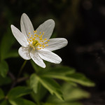 Wood Anenome by Rachel Dunsdon