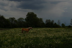 Horse in a dandelion meadow under a gathering thunderstorm