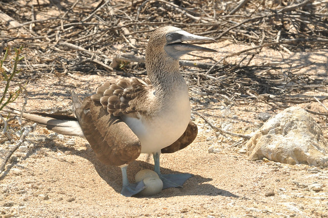 Photo:Blue-footed booby (Sula nebouxii) By Constanza S. Mora