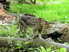 Chat viverrin ou chat pêcheur