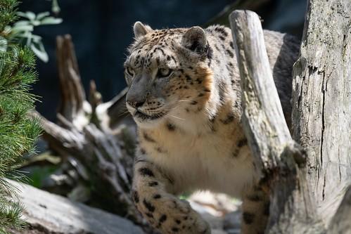 Snow leopard / Schneeleopard