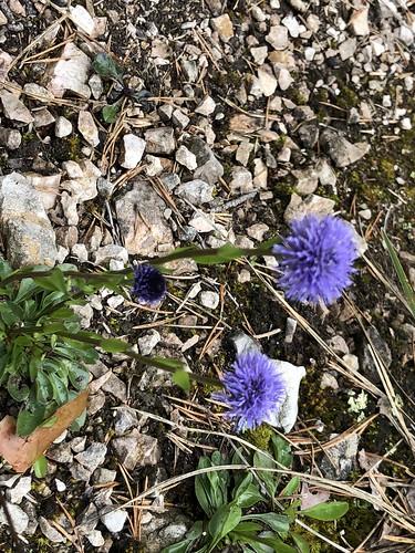 Hochstiel-Kugelblume Globularia vulgaris