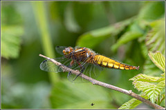 Broad-bodied Chaser  dragonfly (Libellula depressa) female