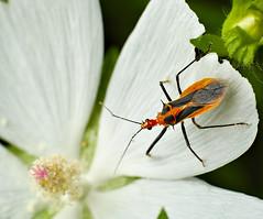 Satan Assassin Bug waiting for prey