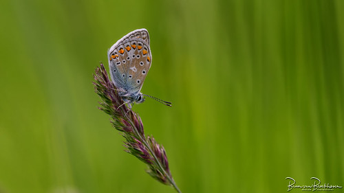 Common Blue (Polyommatus icarus)