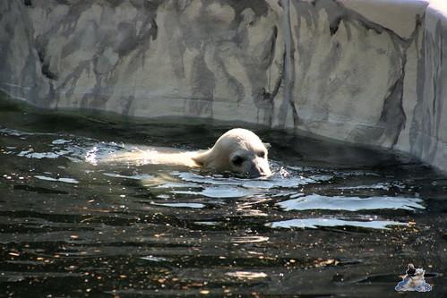 Eisbär Tonja im Tierpark Berlin 19.05.2019 004