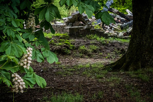 Flowering Chestnut in front of the ruins of the little house of Uneken