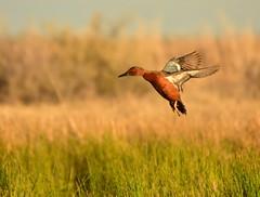 Cinnamon teal at Seedskadee National Wildlife Refuge