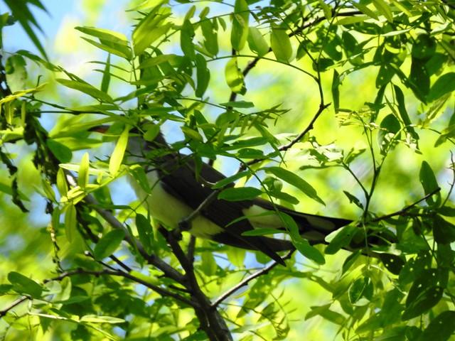 Yellow-billed Cuckoo Jennings Randolph Lake Mt Zion Rd.  (Garrett County) 5-21-19