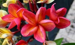 Kapalua aka Maui Sunrise Plumeria