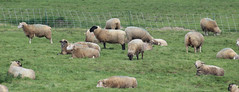 Beaumont-Hamel Sheep - Photo of Sailly-au-Bois