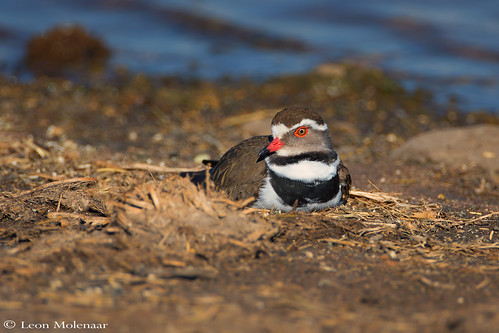 Nesting Three-banded Plover