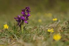 L'orchis bouffon (Anacamptis morio) Goux Sous Landet