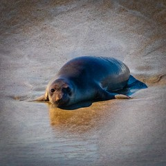 Young Elephant Seal  on the Beach No 3
