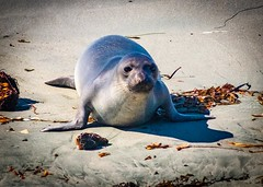 Young Elephant Seal  on the Beach No 4