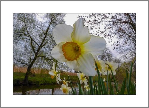 Narzissen an der Rott (Daffodils at the river Rott)