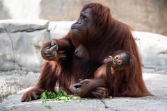 Orangutan Mom Eating with Baby