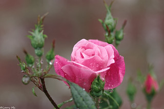 Rose Blossom after a rain