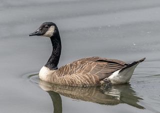 Canada Goose-