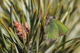 Green Hairstreak (Grøn Busksommerfugl), Heatherhill