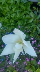 Tulipe blanche de midi-2