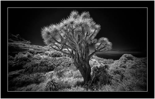 Dragontree, Garafía, Isla de La Palma