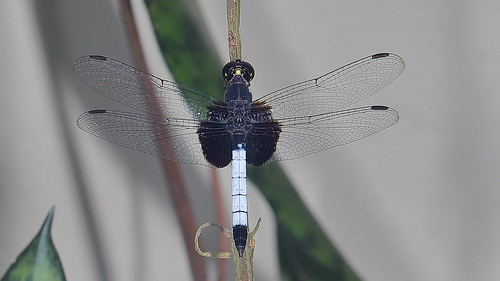 One-spotted Dragonlet - Erythrodiplax unimaculata