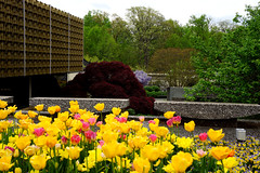 Spring colors at the Arboretum: tulips, Japanese maple, wisteria in the National Bonsai and Penjing Museum, US National Arboretum