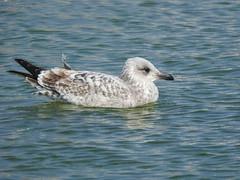Herring Gull DSCN7566