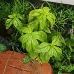 basil planting in Fence garden by shiny