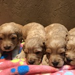 Maggie Mae's 4 boys and 4 girls ! All of Maggie Mae's puppies are reserved..