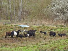 Vaches Galloway - Photo of Wingen