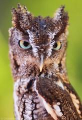 Spice the Screech Owl