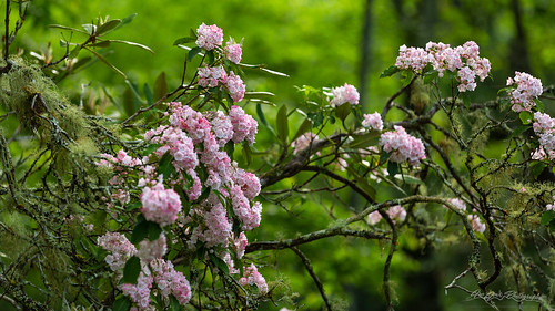 Tennessee Mountain Laurel