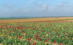 Tulip field in the Regional Natural Park Oise Pays de France