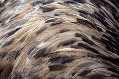 Emu Feathers (still attached to an emu)