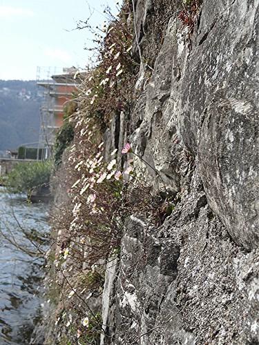 Mexikanisches Berufkraut, Erigeron karvinskianus an Hafenmauer