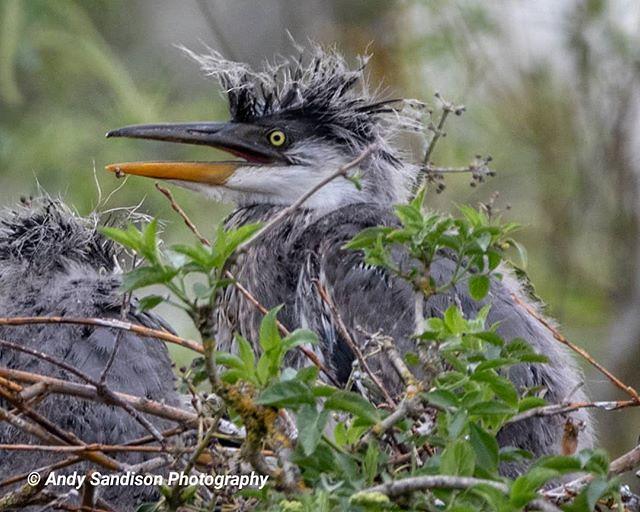 Baby Heron #abingtonpark onpark #northampton #outdoors #naturephotography #wildlifephotography #heron #herons #birds #whereilive #outdoorphotography #outdoorsisfree #nature #wildlife_photography #heronry #canon80d #ishootwithcanon #canonuk #canoneos #myca