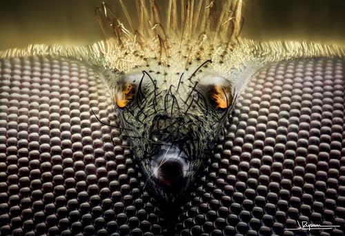 mosca cernidora